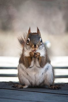 Red Squirrel - So Serious :)