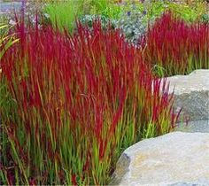Imperata cylindrica Red Baron - Pack of THREE Japanese Blood Grasses - Ornamental Grasses - Garden Plants Landscaping Around Trees, Front Yard Landscaping, Landscaping Ideas, Landscaping With Grasses, Architectural Plants, Ornamental Grasses, Ornamental Grass Landscape, Autumn Garden, Autumn Fern