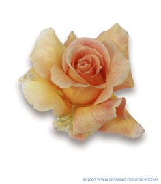 FRAGRANT DREAM (Hybrid Tea) Very fragrant, large apricot blooms, glossy foliage, upright habit, to 80cm