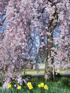 しだれ桜,枝垂樱 The Shidarezakura (weeping cherry) blossoms bloom on the drooping branches from late March through mid-April.