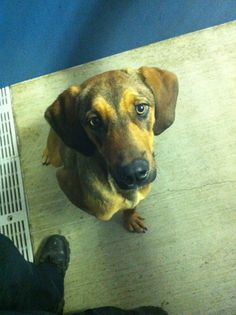 TEXAS Tommy is about 11 months old. He is super sweet and very playful. He gets along great with other dogs and loves kids. He's tall and has a docked tail. He's very smart and well mannered, especially for being such a big puppy.Adoption is $80 which...