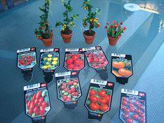 Mine dukkehuse: Tomatplanter