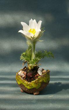 Pulsatilla alpina alba - Alpine anemone kusamono