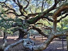 Where to Find the Coolest Trees in the US: Angel Oak Tree