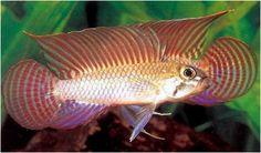 Peixes amazônicos ornamentais (manejo) Nome científico: Apistogramma Pertensis