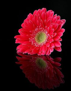 Red Daisy & Beautiful Reflection