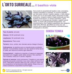 Il basilico viola