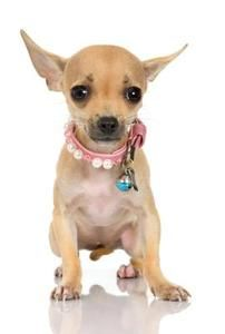 Effective Potty Training Chihuahua Consistency Is Key Ideas. Brilliant Potty Training Chihuahua Consistency Is Key Ideas. Cute Chihuahua, Teacup Chihuahua, Chihuahua Puppies, Cute Puppies, Terrier Puppies, Knit Dog Sweater, Dog Sweaters, Loom Animals, Dog Breeds