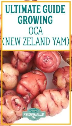 Growing Oca (Oxalis tuberosa or New Zealand Yam) is an increasingly common activity for home gardeners. Oca is a small tuber that is as popular as the potato in the Andes but it does not suffer blight, so knowing how to grow oca is a great way of building a resilient, sustainable and food-secure garden in your backyard.