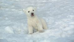 The Toronto Zoos polar bear cub, born on Nov. 9, is growing up fast. I missed the naming entry so I will call this little fellow  'onartok ' the Inuit word meaning 'warm'