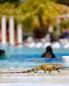 Iguana Crossing - Iguana at Gran Melia Resort pool in Rio Grande, Puerto Rico.