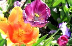 Flowers at Temple Square in Salt Lake City, Utah.