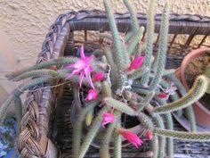 Amores con espinas: DIOSOCACTUS Aporocactus flagelliformis