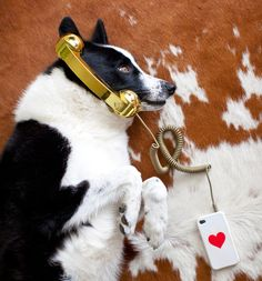 Doggy with gold phone