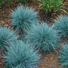 Grama azul(Festuca Glauca) A Grama Azul é uma planta herbácea entouceirada de até 50 cm de altura, nativo da Europa. Resistente a solos pobres e períodos de seca, exige sol pleno e solo bem drenado. Fada da Natureza, Facebook