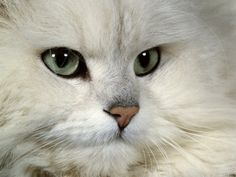 persian cats | the chinchilla persian is one of the finest cats of all the persians