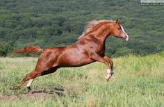 A Glorious Looking Chestnut Arabian Bounding Through a Big Grassy Field. (Photograph by Ekaterina Druz).