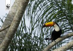 Een reuzentoekan (Ramphastos toco) in een boom, Pantanal, Brazilië. Het is de grootste en de meest bekende soort in de toekan familie.