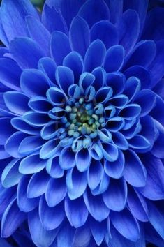 Close up of blue flower, aster with blue petals and yellow heart.