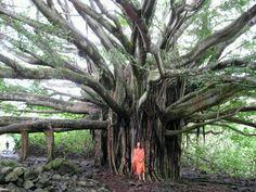 Banyan tree India