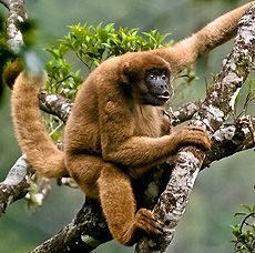 """Southern Muriqui - Brachyteles arachnoides - Endemic to Brazil in the states of Paraná, São Paulo, Rio de Janeiro, Espírito Santo and Minas Gerais, this muriqui (Woolly spider monkey), is of the family Atelidae. Its head and body measure 22-31"""" (55-78 cm) long and its tail is 29-32"""" (74-80 cm) long. It is the largest New World monkey and the largest non-human primate in the Americas"""