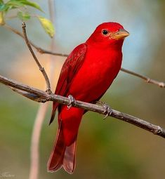 Fairy-wren:  Summer tanager