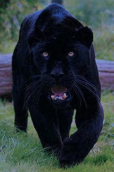 Black panthers are powerful, intelligent, and exotic animals. The black panther's habitats include the rainforest. Big Cats, Cool Cats, Cats And Kittens, Siamese Cats, Black Panther Habitat, Beautiful Cats, Animals Beautiful, Beautiful Creatures, Animals And Pets
