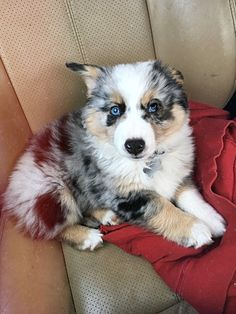 This Is An Auggie Puppy Theyre A Mix Between Toy Australian