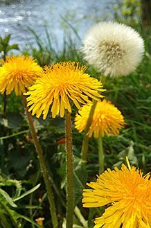 Varicose Vein Removal, the Twisted Problem Varicose Vein Removal, Varicose Veins, Fett, Health And Wellness, Dandelion, Flowers, Plants, Metabolism, Natural Remedies