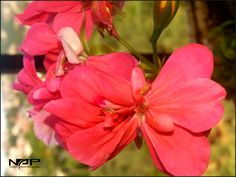 #Syria#Colorful#Flower