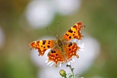 Falter #coloured #nature #details #naturedetails #butterfly #orange #pretty #beautiful #tapeterie #tapeten #tapete