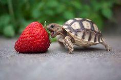 Kaplumbağanın dişleri yoktur. Ağız kenarındaki sert tırnaksı maddeyle otları kesebilirler. Bu küçük sevimli kaplumbağa da boyu kadar bir çileği yemeye hazırlanıyor :) ► petyuvasi.com