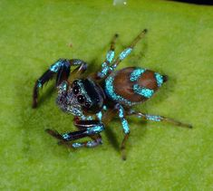 Shiny blue jumping spider (perhaps Thiania bhamoensis)