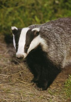 Secret World badger