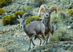 Nevada Desert Bighorn Sheep by ~eaross on deviantART