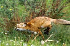 red fox running from dogs | Red Fox [Vulpes vulpes] | Barbara Magnuson & Larry Kimball