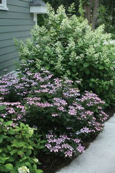 Tired of hydrangeas that don't bloom? Tiny Tuff Stuff mountain hydrangea (Hydrangea serrata) will not disappoint. The bud-hardy rebloomer is covered in delicate lacecap blooms even after harsh winters.
