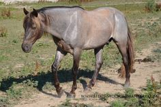 silver dapple roan - unknown Rocky Mountain Horse gelding