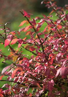 Euonymus alatus 'Compactus'. Informal hedge. RHS Award of Garden Merit. Burning Bush