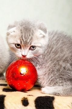 Dear Santa- If you can't find the perfect Westie, a Scottish Fold would be a welcome addition! XO B.