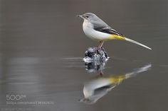 Grey wagtail by as-berlin via http://ift.tt/1RN0PZY