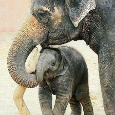 Elephants Animal Kingdom, Creatures, Adrenal Fatigue, Animals, Birds, Animais, Animales, Animaux, Animal
