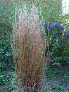 little-bluestem-plant Fall Perennials, Flowers Perennials, Planting In Clay, Perennial Geranium, Red Twig Dogwood, Prairie Planting, Border Plants, Slippery When Wet, Clay Soil
