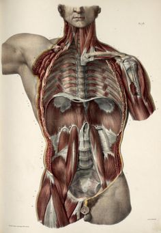 Posterior thoracic, abdominal and pelvic wall. Cadaver divided in coronal section through the thorax, abdomen and pelvis, all viscera removed to show ribs, intercostal muscles, diaphragm, psoas muscles, pelvic floor. By Nicolas Henri Jacob from Traité Complet De L'anatomie De L'homme by Marc Jean Bourgery, 1831. ~~ www.facebook.com/TheIrregularAnatomist ~~ www.twitter.com/Irr_Anatomist