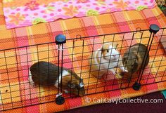 How to Choose and Buy the Right Fleece for your guinea pig. What type, where to buy, and other tips.