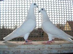 Pet Pigeon, Pigeon Pictures, Racing Pigeons, Raised Garden Beds, Birds, People, Animals, Pigeon, Animales