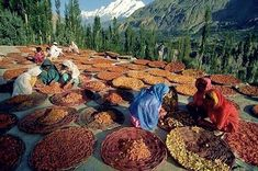 Drying process of Apricots in Hunza Valley Pakistan. via Discover Pakistan Karakorum Highway, Hunza Valley, Pakistan Travel, Gilgit Baltistan, Travel Channel, Natural Medicine, Okinawa, Scenery, Places To Visit