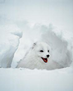 Arctic Fox in winter coat, Alaska by Jaynes Gallery