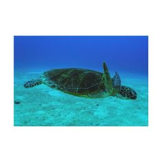 Wrapped canvas featuring a Hawksbill Sea Turtle swimming in the clear blue waters of the Coral Sea off the coast of QLD, Australia. #turtle #turtles #hawksbill #ocean #sea #nature #wildlife #seaturtle #hawksbillseaturtle