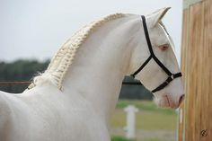 Quintal, Lusitano. A true white horse...